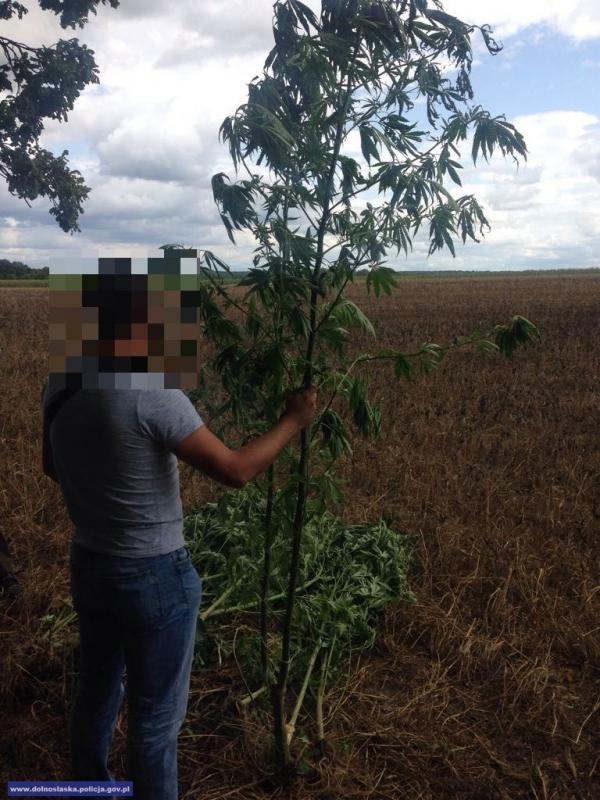 Zlikwidowali plantacje marihuany ukryte wkompleksach leśnych