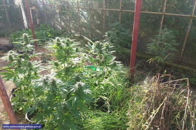 Domowa uprawa pomidorów i.....marihuany