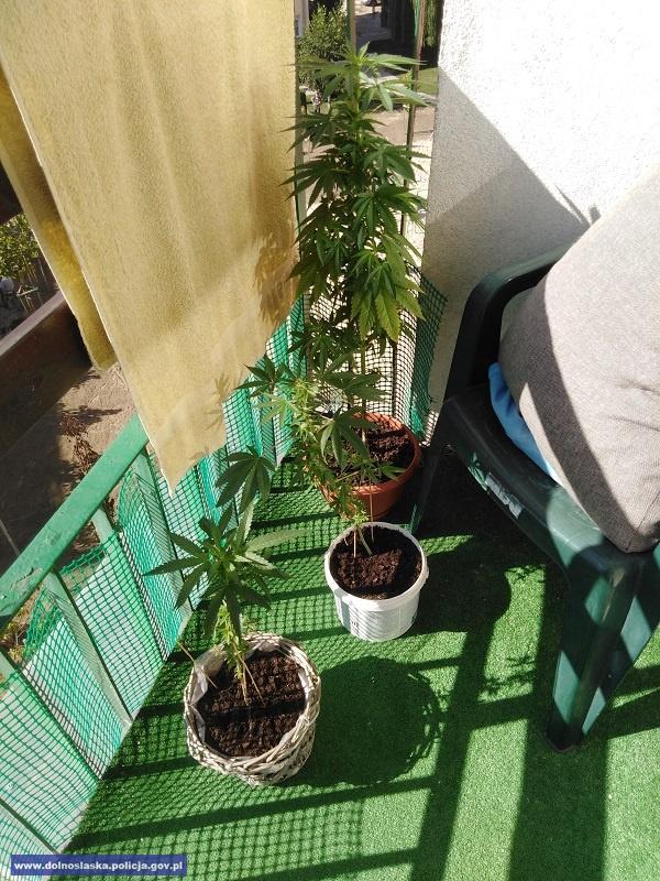 Balkonowa uprawa konopi